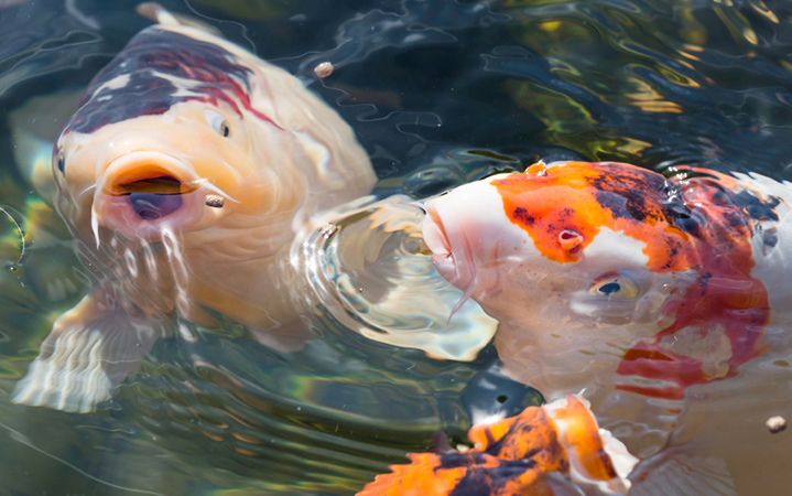 picture of koi